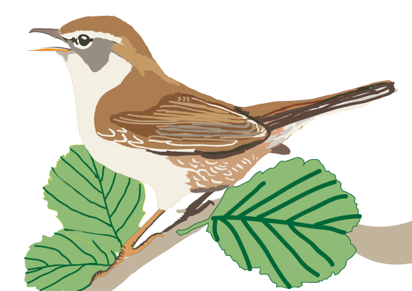 Cetti's Warbler. Client: Countryside Council for Wales.