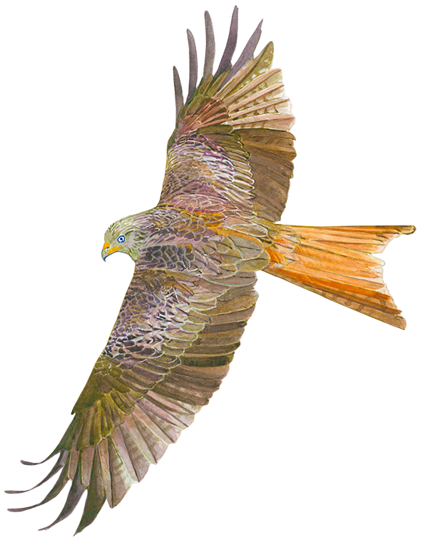 Red Kite. Client: Forestry Commission Wales.